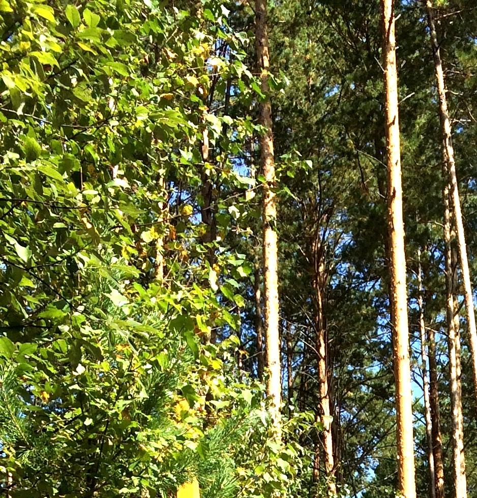 шмат леса