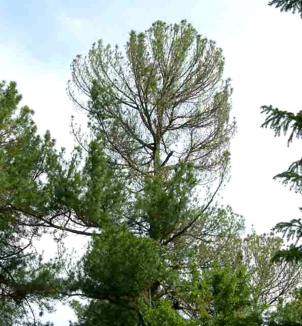 Дерево, объеденное рыжим сосновым пилильщиком